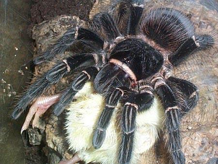 Chicken-eating spider   Page 4   Arachnoboards  Chicken-eating ...