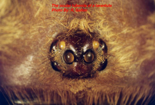 African Cave Dwelling Spider http://www.thebts.co.uk/old_articles/natural.htm